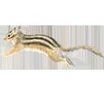 Backenhörnchen - Fell 39