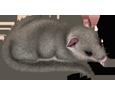 Siebenschläfer - Fell 52