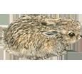 Wildkaninchen - Fell 52