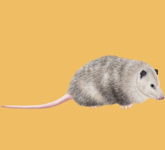 Opossum - Fell 50